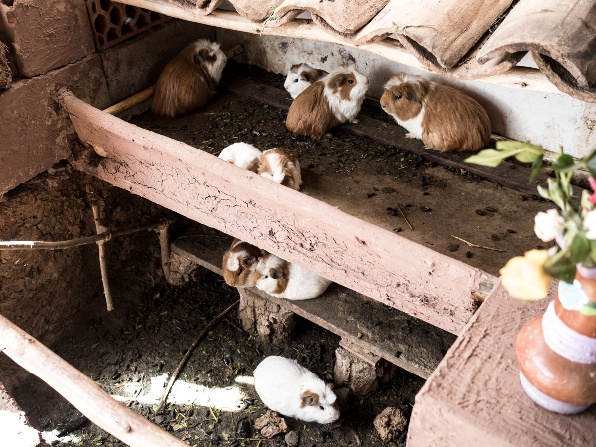 Peru-andean-guinnea-pigs
