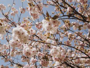 charlie-may-japan-tokyo-aoyama-blossom-2